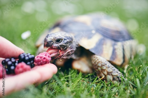 Raspberry and blackberry for home turtle © Chalabala