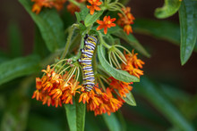Monarch Caterpillar On Butterfly Milkweed
