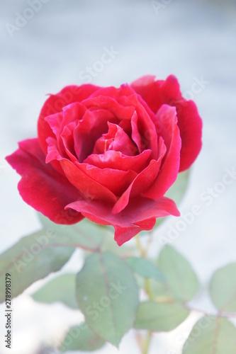 Rose vertical