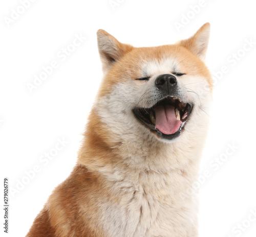 Photo Cute Akita Inu dog isolated on white