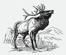 Male Wapiti Elk, Cervus Canadensis Standing In A Mountainous Landscape And Roaring. Illustration After An Antique Engraving From The Early 20th Century