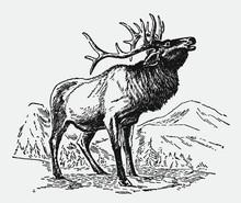 Male Wapiti Or Elk, Cervus Can...