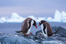 Breeding Pair Of Gentoo Penguins Creating A Nest With Stones In Antarctica With Icebergs In Background