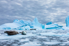 Amazing Frozen Landscape From Antarctica With Crabeater Seals Resting On Icebergs And Staring At Camera, Blue Ice And Stunning Wildlife In Antarctic Peninsula