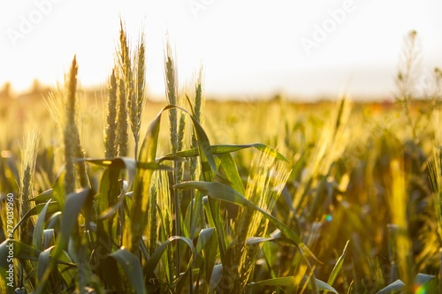 Photo sur Toile Culture Wheat growing in a field