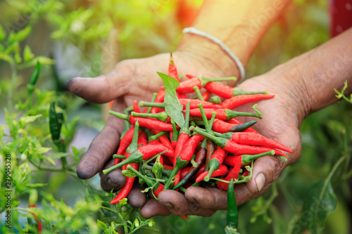 Deurstickers Hot chili peppers Red hot chili peppers in hands ,Hands holding fresh chili,Organic vegetables