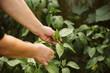 Senior Woman Harvesting Organic Homegrown Tomato