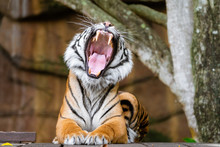 Tiger Yawning And Showing It's Teeth