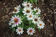 白いガザニアの花