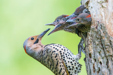 Male Northern Flicker (Colaptes Auratus) At Nest