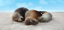 Sea Lion Family In Sand Lying ...