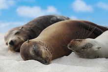 Animals. Sea Lion Family In Sand Lying On Beach On Galapagos Islands - Cute Adorable Animals. Animal And Wildlife Nature On Galapagos, Ecuador, South America.