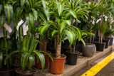 Houseplant Yucca elephantides on the shelf in a flower shop