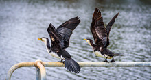 A Pair Of Little Pied Cormoran...