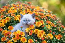 Cute Little Kitten In The Garden In Chrysanthemum Flowers