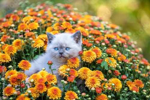 Canvas Print Cute little kitten in the garden in chrysanthemum flowers