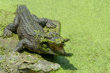 Crocodile In The Green Lake, C...