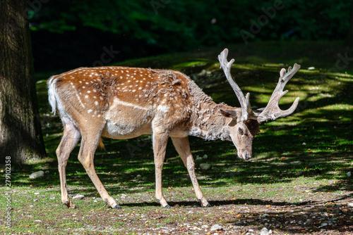 Foto op Aluminium Ree The fallow deer, Dama mesopotamica is a ruminant mammal