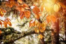 Beautiful Autumn Leaves On Tree Lit By Sunlight