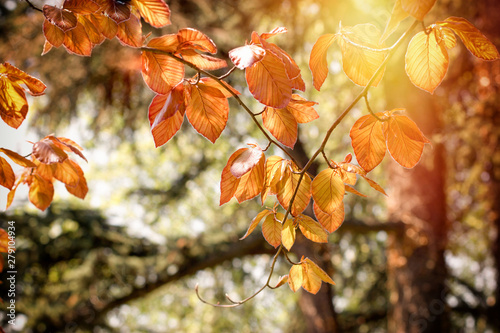 Beautiful autumn leaves on tree lit by sunlight Fototapet