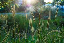 Wild Grasses In Lammas Park In...