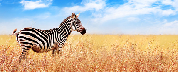 Fototapeta Zebry Zebra in the African savannah. Serengeti National Park. Africa. Tanzania. Wide format.