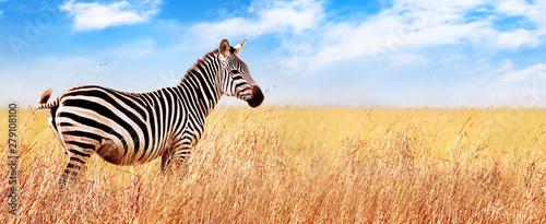 Zebra in the African savannah. Serengeti National Park. Africa. Tanzania. Wide format.