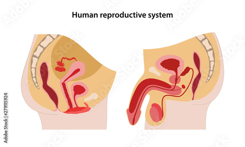 Valokuvatapetti Male and female reproductive system