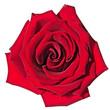 Leinwandbild Motiv Rose isolated