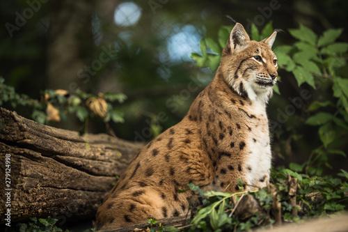 Fotografía Eurasian Lynx (Lynx lynx)