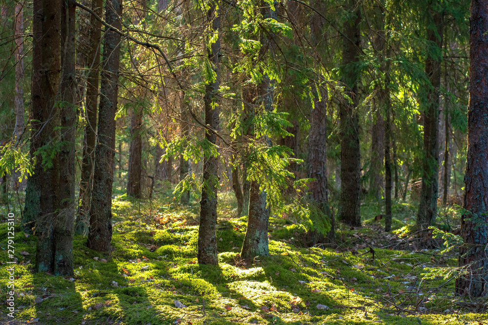 Fototapeta Forest. Woodland. Summer green firs and pine in forest. Russian wild nature