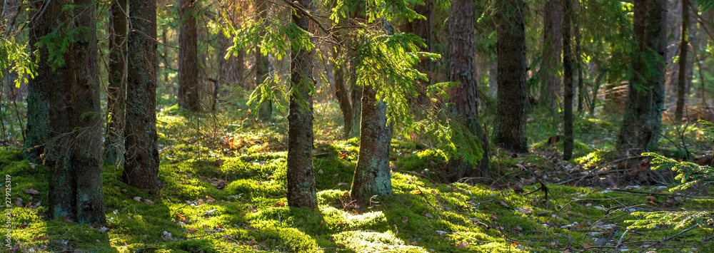 Fototapeta Forest nature background. Summer green forest