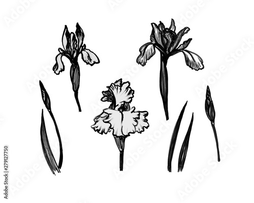 Fotografie, Obraz  Set of black and white bold hand drawn illustrations of iris plant - flower, stem, leaf, bud