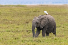 Western Cattle Egret On The Back On An Baby Elephant In Africa, Funny Animals In The Savannah