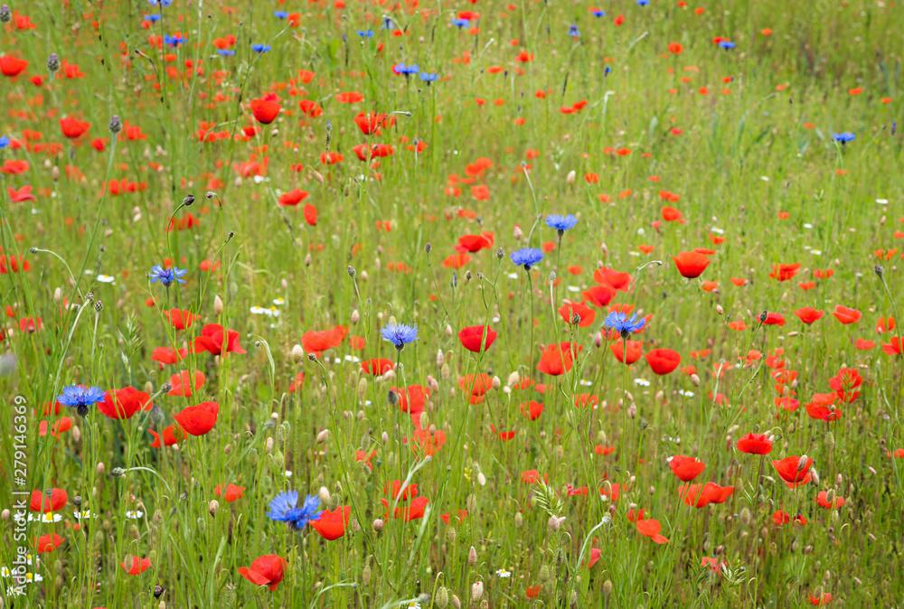 Fototapeta grüne Wiese mit roten Mohnblumen und blauen Kornblumen, kamillenblüten