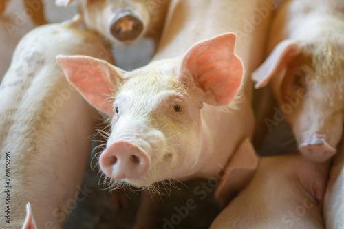 Fototapeta Group of pig that looks healthy in local ASEAN pig farm at livestock
