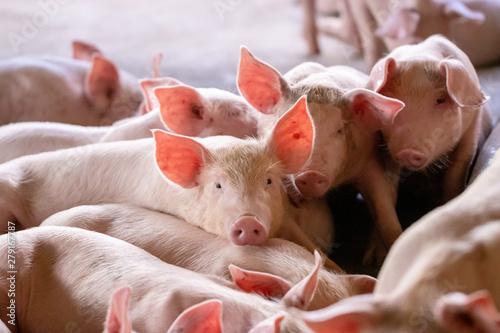 Obraz na plátne Small piglet in the farm