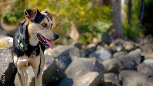 Photographie  Young black and tan crossbreed dog balanced on a rock and looking across the image in a mountain nature scene