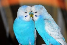 Two Parakeets Kissing