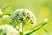 Asclepias Asperula Antelope-Horns Wildflower Close Up With Blurred Background, Native Texas Plant In Nature.