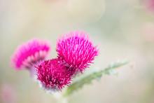 Magnifique Fleur De Chardon En Gros Plan