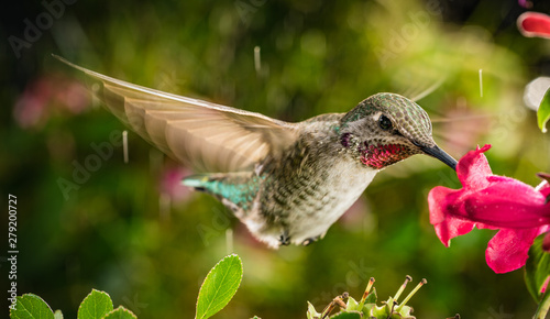Acrylic Prints Bird Hummingbird in vibrant natural colors