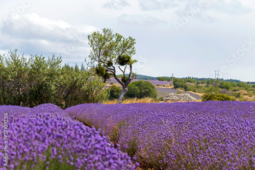 Foto op Canvas Lavendel Background with vibrant purple lavender fields at mountainous, late-blooming location in Provence, France