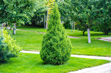 Lonely Thuja, Arborvitae In Th...