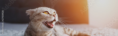 Fotografie, Obraz panoramic shot of scottish fold cat meowing and looking away