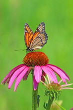 Viceroy Butterfly On Purple Co...