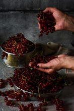 Red Currant In A Metal Bowl And Human Hands Impose Berries On A Gray Concrete Background