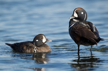 A Pair Of Harlequin Ducks With...