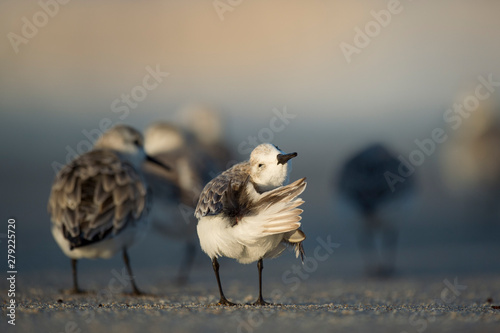 Photo  A Sanderling preens its feathers on the sandy beach in the evening sun with other Sanderlings in the background