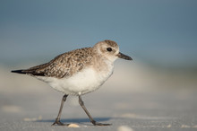 A Black-bellied Plover Walks On A Sandy Beach In Bright Sun With A Smooth Blue Background.